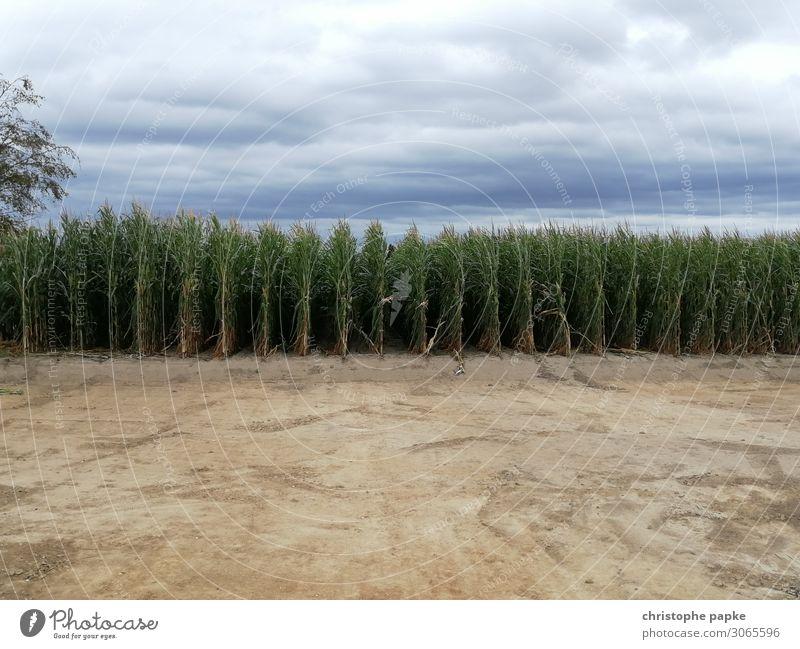 Maisfeld Landschaft Himmel Wolken Pflanze Nutzpflanze Natur Landwirtschaft Feld Farbfoto Außenaufnahme Menschenleer Textfreiraum oben Textfreiraum unten Tag