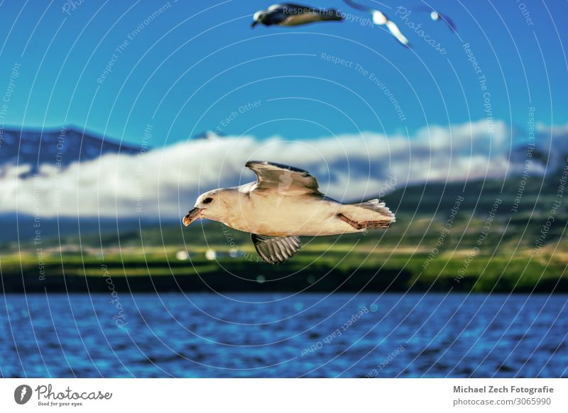 perfekte Aufnahme einer fliegenden Möwe über dem blauen Ozean auf Island schön Freiheit Meer Kunst Natur Landschaft Tier Himmel Wolken Wetter Platz Vogel Flügel