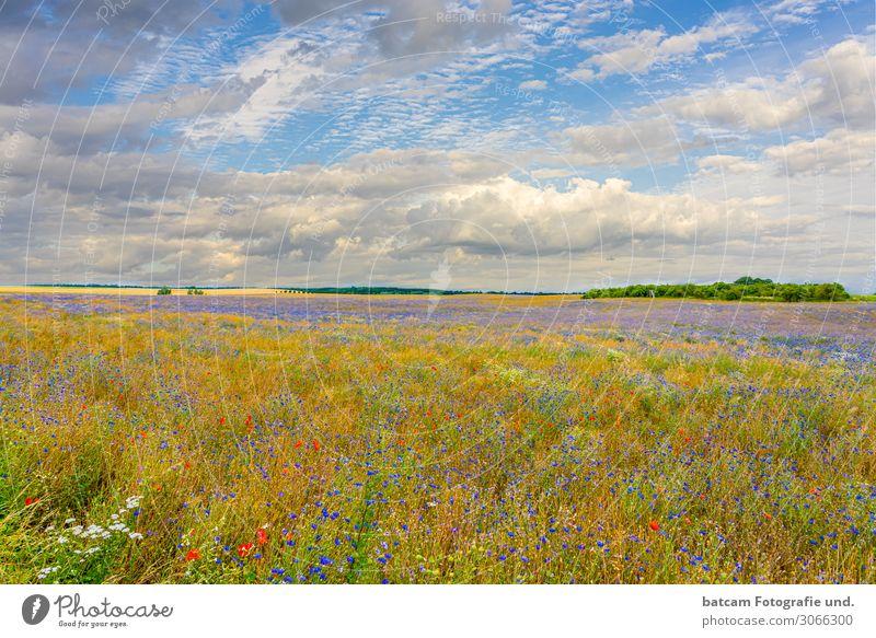 buntes Bio Rapsfeld mit Kornblumen und Mohn Erneuerbare Energie Umwelt Natur Landschaft Pflanze Himmel Wolken Horizont Sommer Herbst Schönes Wetter Nutzpflanze