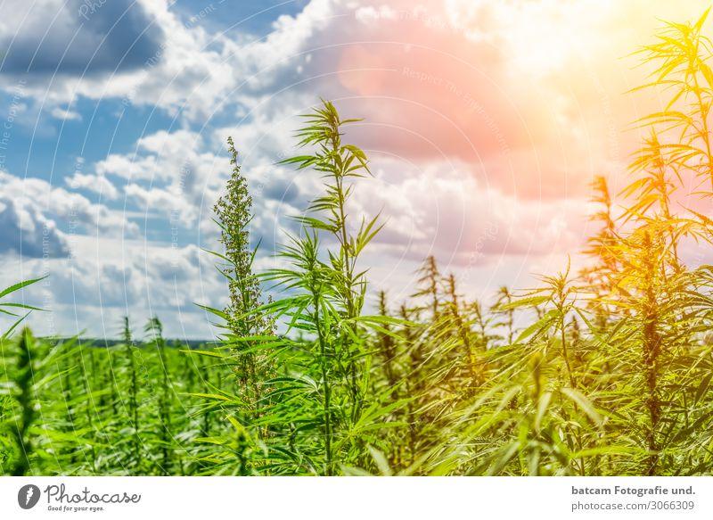 Hanf Feld Cannabis Feld im Gegenlicht Umwelt Natur Landschaft Himmel Wolken Sonne Sonnenlicht Sommer Schönes Wetter blau gelb grau grün orange weiß