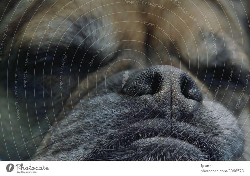 Schnarchnase Haustier Hund Tiergesicht Mops Mischling 1 schlafen Trägheit Nase Schnauze Fell Behaarung Hundenase Farbfoto Außenaufnahme Nahaufnahme Tag Schatten
