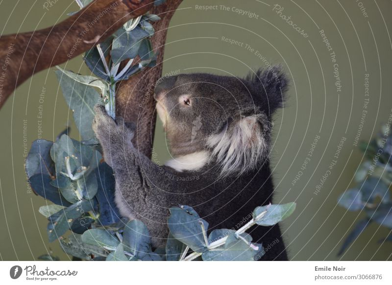 Koala am fressen Hobart Australien Tier Wildtier Tiergesicht Fell 1 exotisch Tierliebe niedlich weich Eukalyptusbaum Farbfoto Außenaufnahme Tag