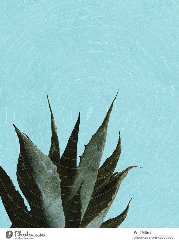 Agavenpflanze vor blauem Hintergrund Pflanze Pflanzer Tequila Mexiko Mexikaner grün Scharfer Gegenstand stechend Kaktus Schatten sehr wenige Süden Texas