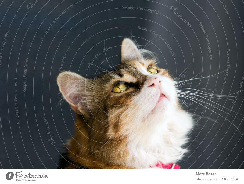 Bezaubernde Kaliko-Katze mit unerträglichem Aussehen. Tier Haustier Tiergesicht 1 Kunststoff Gefühle Leidenschaft Vertrauen loyal Tierliebe Neugier Interesse