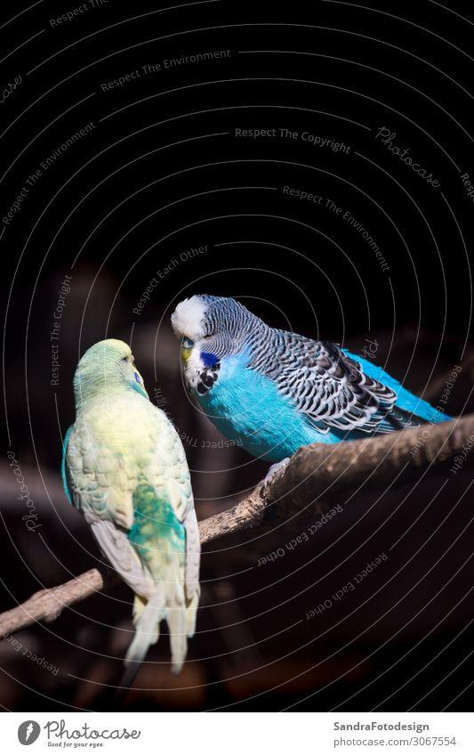 Two budgies on a branch Zoo Natur Park Tier Vogel Streichelzoo Tierpaar füttern Liebe gelb Fröhlichkeit Tierliebe parakeet perch Wellensittich feather green