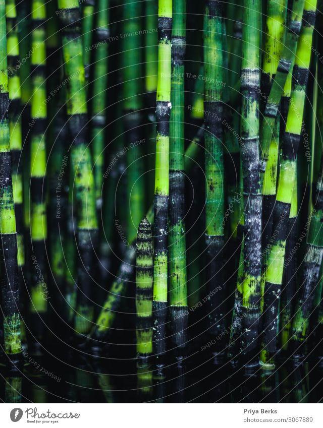 Bambus im Teich Umwelt Natur Pflanze Wasser exotisch grün Farbfoto Textfreiraum unten Morgen Tag Licht Schatten Kontrast Reflexion & Spiegelung