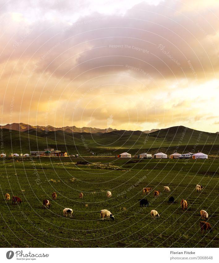 A small mongolian yurt camp at sunset Himmel Natur Pflanze schön Landschaft Wolken Tier Berge u. Gebirge Wiese Tiergruppe Hügel Schaf Herde Nutztier