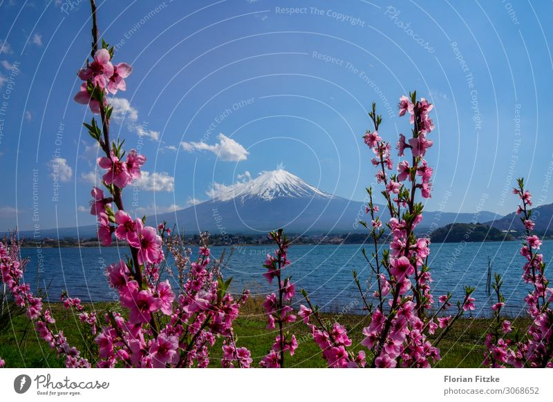 Mount Fuji and the cherry blossom Natur Landschaft Pflanze Wasser Himmel Frühling Schönes Wetter Blüte Hügel Berge u. Gebirge Gipfel Schneebedeckte Gipfel