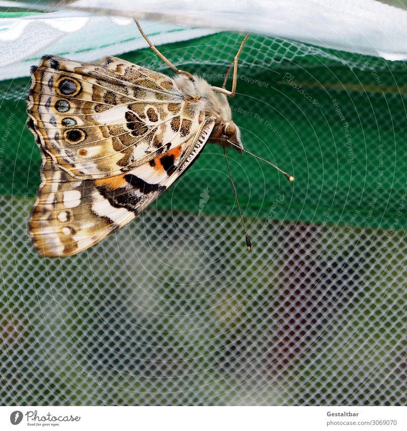 Distelfalter Tier Schmetterling 1 ästhetisch schön braun orange schwarz weiß bedrohlich Vergänglichkeit Wandel & Veränderung Insekt Artenschutz Flügel Fühler