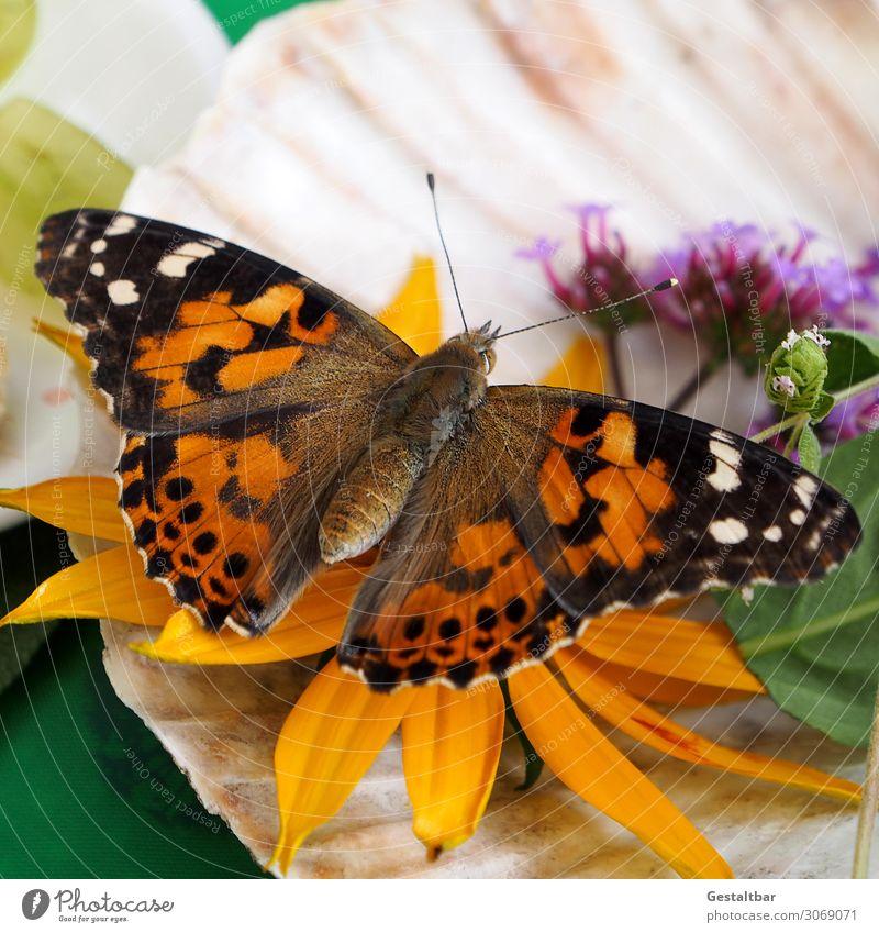 Distelfalter auf Blume Tier Schmetterling 1 ästhetisch schön braun orange schwarz weiß bedrohlich Wandel & Veränderung Insekt Artenschutz Flügel Insektensterben