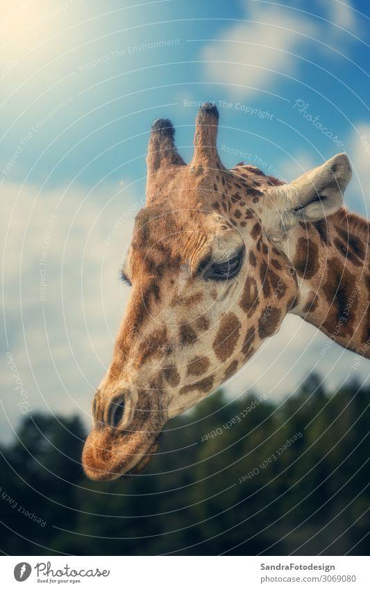 Head shot of a giraffe with sunlight Freude Safari Zoo Natur Park Tier Streichelzoo 1 beobachten Fressen groß Tierliebe neck mammal brown ears stand