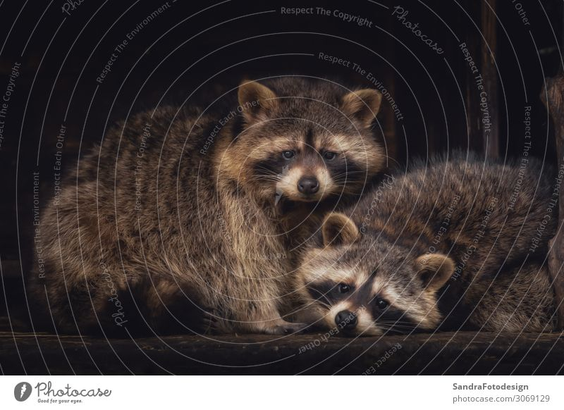A couple of racoons looking into the camera Zoo Natur Park Tier Tierpaar kuschlig Zufriedenheit tree pets natural mammal bear sweet brown raccoon bavaria cute