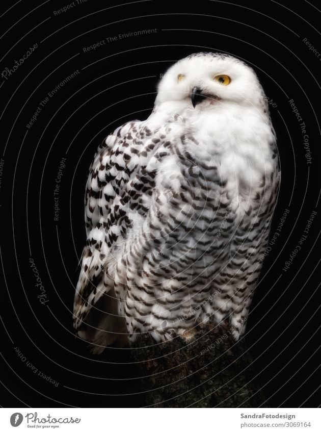 A snow owl against black background Winter Zoo Natur Tier schön animal Lebewesen Hintergrundbild beak beautiful beauty bird cold eyes feathers fly freedom
