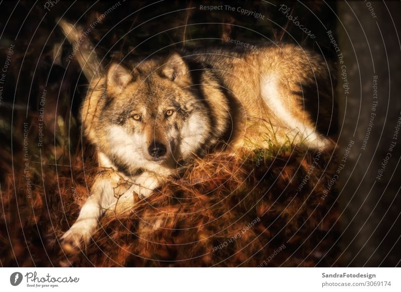 Lying wolf on foliage looking at the camera Zoo Natur Park Tier 1 beobachten stark wild Tierliebe animal animal photograph animal photography animal pics brown