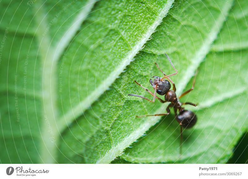 Ameise Pflanze Blatt Tier Wildtier Insekt 1 krabbeln grün Natur Umwelt Farbfoto Außenaufnahme Nahaufnahme Detailaufnahme Makroaufnahme Menschenleer