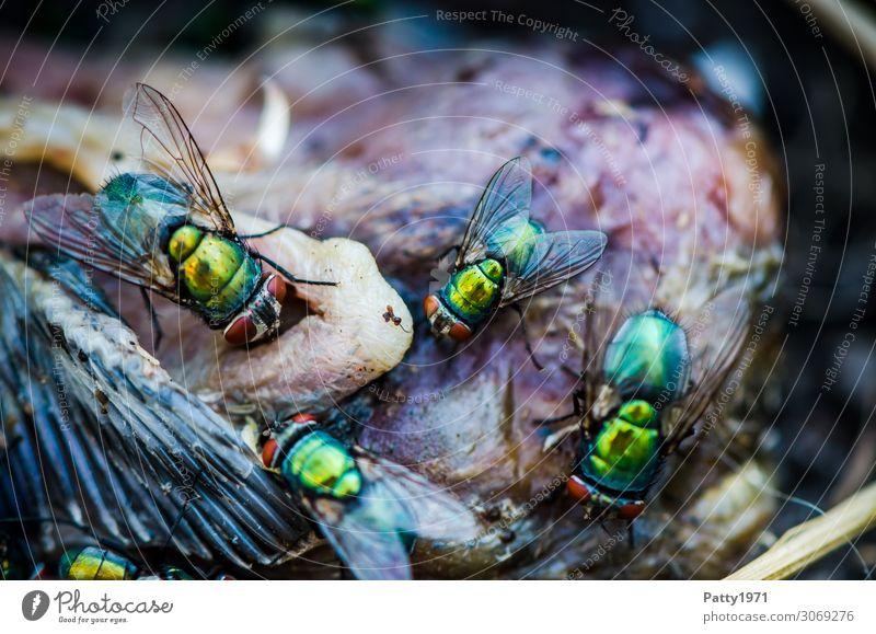 Schmeissfliegen Totes Tier Vogel Fliege Flügel Schmeißfliege Goldfliege Lucilia sericata Fressen krabbeln Ekel glänzend gelb grün gefräßig Natur Tod Verfall