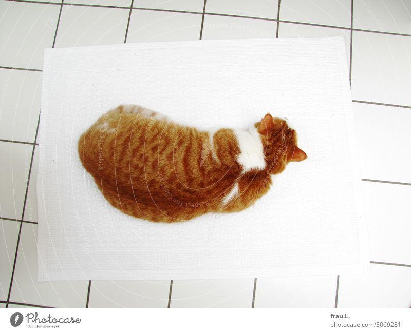 Kater von oben Häusliches Leben Bad Tier Haustier Katze 1 liegen schlafen träumen Glück Sauberkeit schön braun rot weiß Zufriedenheit Tierliebe Gelassenheit