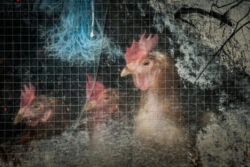 Nebulös | Tierhaltung Fensterscheibe Nutztier Vogel Hühnervögel Legehenne 3 Schnur beobachten dreckig trist blau braun rosa rot schwarz Mitgefühl Traurigkeit