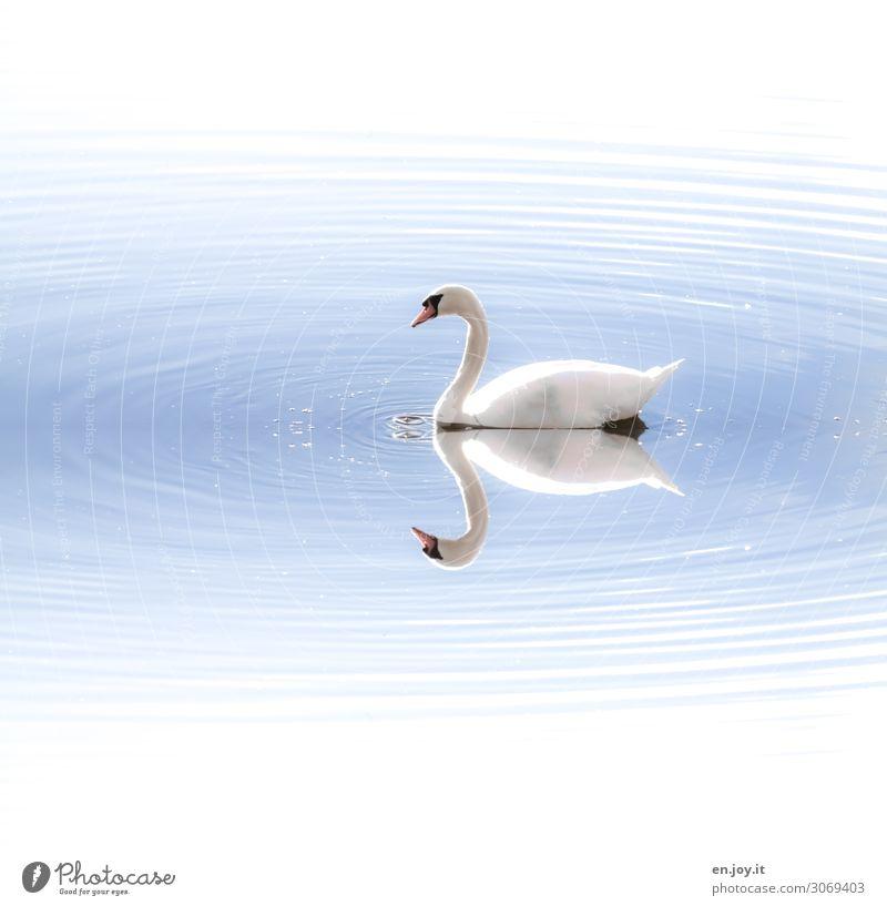 Schwanensee Wasser Wellen See Tier 1 elegant hell blau weiß Romantik schön Idylle Leichtigkeit Natur ruhig Surrealismus Symmetrie träumen Farbfoto Außenaufnahme