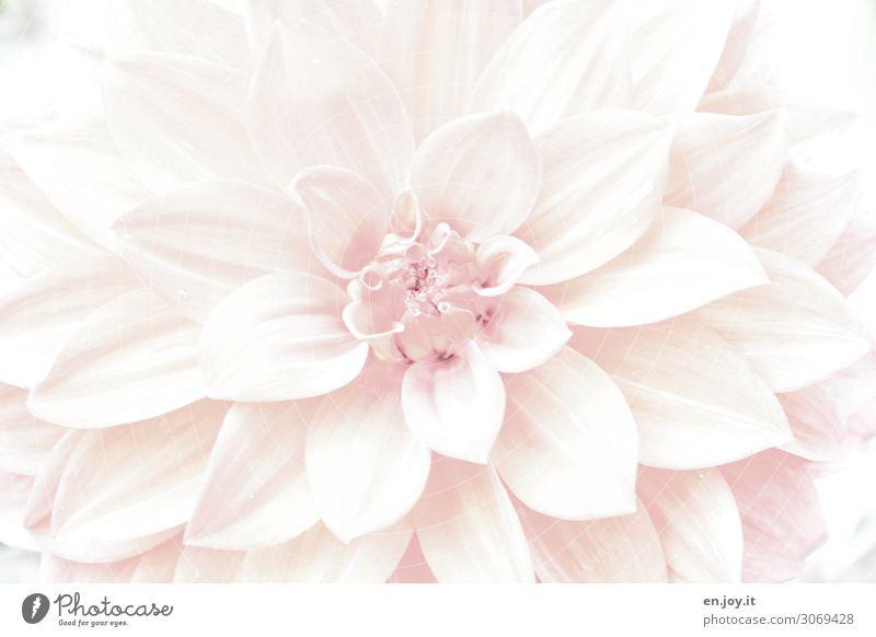 rein Pflanze Blume Blüte Dahlien hell rosa Tugend Traurigkeit Trauer Tod Surrealismus Symmetrie träumen Reinheit Farbfoto Gedeckte Farben Außenaufnahme