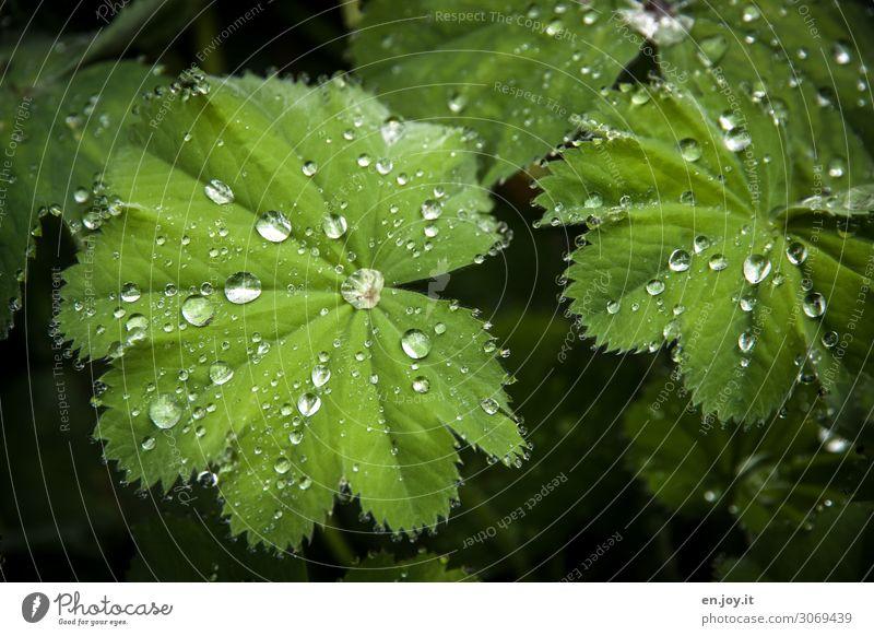 Abweisend Natur Pflanze Blatt Frauenmantel außergewöhnlich grün innovativ hydrophob abweisend Perle Tropfen Wassertropfen Regen Wissenschaften Farbfoto