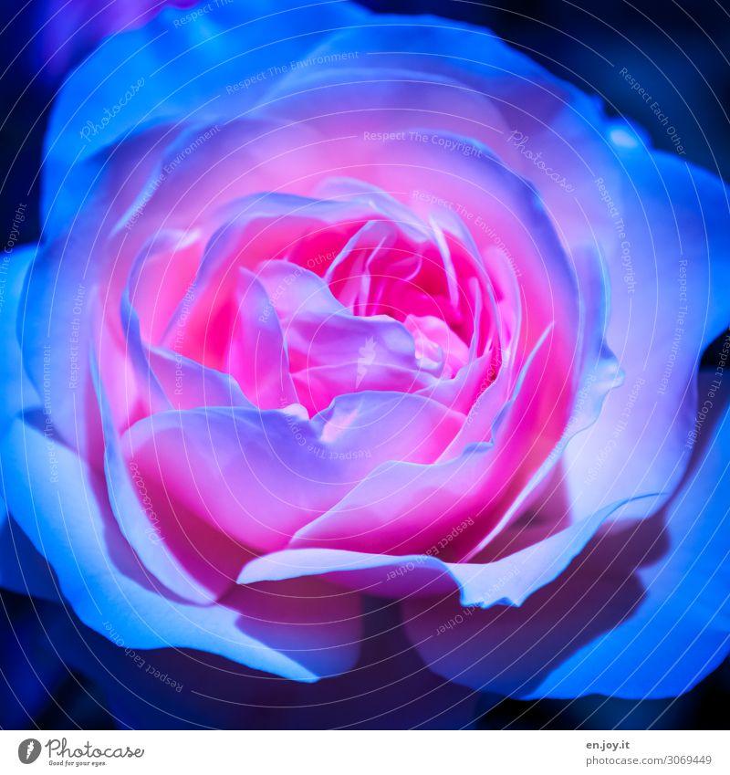 außergewöhnlich Pflanze Blume Rose Blüte Topfpflanze Blühend Duft fantastisch schön Kitsch blau rosa Romantik Surrealismus Farbfoto mehrfarbig Außenaufnahme