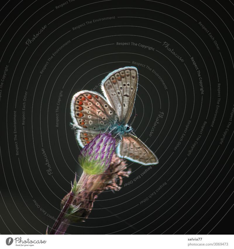 Engelchen Umwelt Pflanze Sommer Blume Blüte Distelblüte Tier Schmetterling Flügel Insekt 1 Blühend leuchten ästhetisch niedlich oben Leichtigkeit Perspektive
