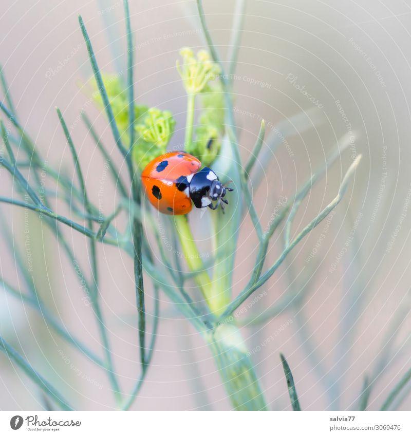 Siebenpunkt Umwelt Natur Sommer Pflanze Blatt Grünpflanze Nutzpflanze Dill Garten Tier Käfer Insekt Marienkäfer Siebenpunkt-Marienkäfer 1 krabbeln klein positiv