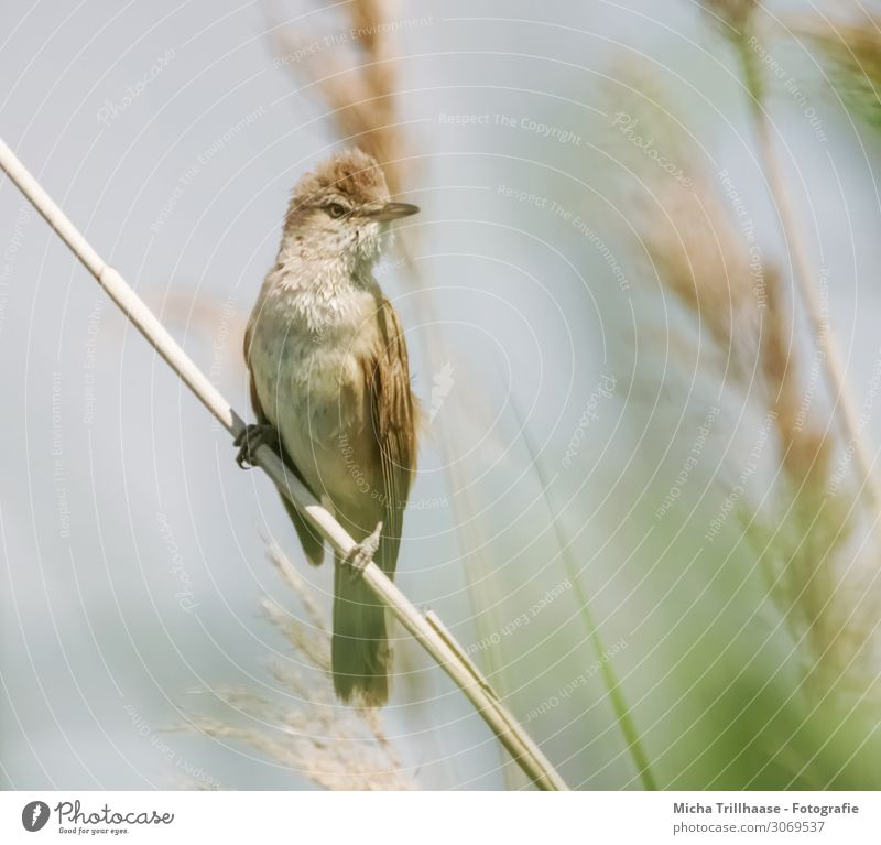 Teichrohrsänger im Schilf Natur Tier Sonne Sonnenlicht Schönes Wetter Pflanze Schilfrohr Seeufer Wildtier Vogel Tiergesicht Flügel Krallen Schnabel Auge Feder