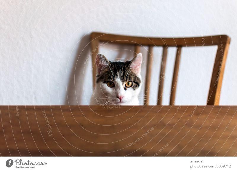 Kalle hat Hunger Tier Haustier Katze 1 Tisch Stuhllehne sitzen warten lustig Häusliches Leben Farbfoto Innenaufnahme Textfreiraum links Textfreiraum unten