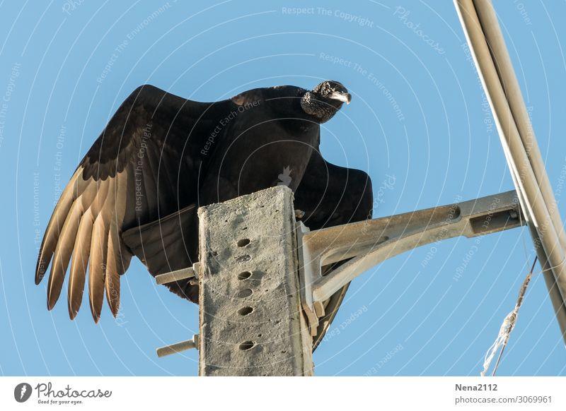 Urubu Himmel Natur Tier schwarz Umwelt Vogel fliegen Luft Wildtier Schönes Wetter beobachten Wolkenloser Himmel Jagd Brasilien Karibik Südamerika