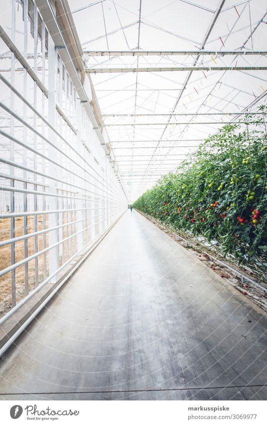 Mega Tomaten Gewächshaus Lebensmittel Gemüse Tomatenplantage Pflanze züchten Ernährung Essen Picknick Bioprodukte Vegetarische Ernährung Diät Fasten Slowfood