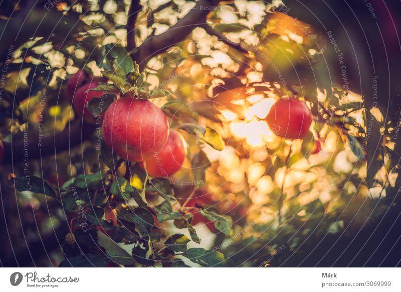 Bio-Äpfel am Baum im Obstgarten, Ungarn Lebensmittel Apfel Ernährung Bioprodukte Vegetarische Ernährung Diät Natur Pflanze Sonne Sonnenaufgang Sonnenuntergang