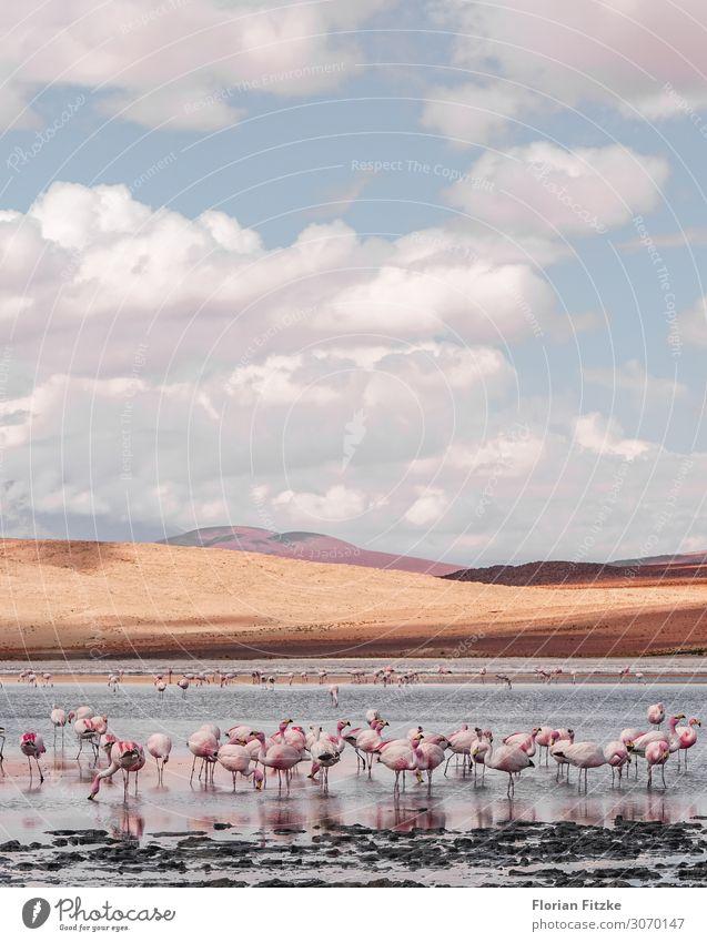 Beautiful lagoon in southern Bolivia with lots of pink flamingos Landschaft Tier Sand Wasser Wolken Dürre Hügel Moor Sumpf Wildtier Flamingo Herde einfach schön
