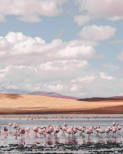 Beautiful lagoon in southern Bolivia with lots of pink flamingos schön Wasser Landschaft Wolken Tier Sand Wildtier einfach Hügel Dürre Sumpf Herde Moor Flamingo