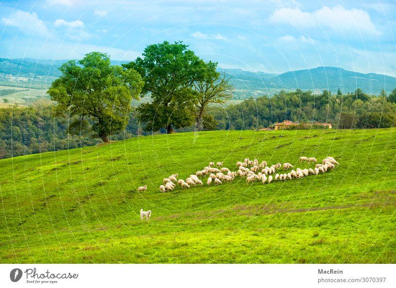 Schafherde in der Crete Tourismus Städtereise Sommer Sommerurlaub Haus Tier Gras Sträucher Grünpflanze Wiese Feld Hügel Dorf Haustier Nutztier Fell Herde ruhig