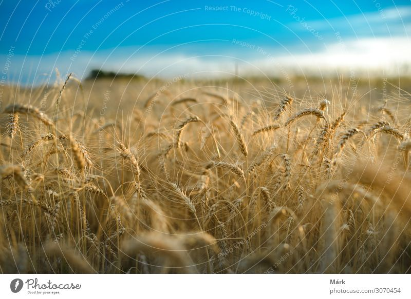 Weizenfeld gegen einen blauen Himmel Getreide Brot Sommer Natur Landschaft Pflanze Wolken Sonnenlicht Feld Wachstum groß heiß trendy natürlich gelb gold