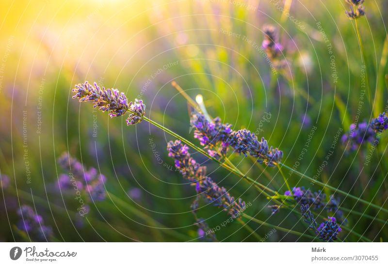 Lavendelsträucher bei Sonnenuntergang aus der Nähe betrachten Kräuter & Gewürze Lifestyle elegant Stil schön Parfum Leben Erholung Sommer Garten Gartenarbeit