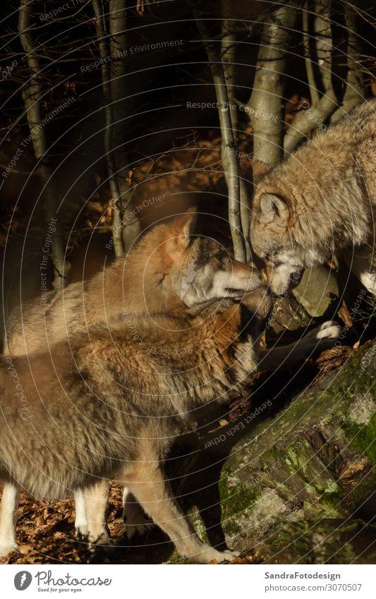Wolves in the forest Ferien & Urlaub & Reisen Zoo Natur Park Tier Tiergruppe berühren Kommunizieren Tierliebe Leben Wolf grey natural wildlife animal lupus