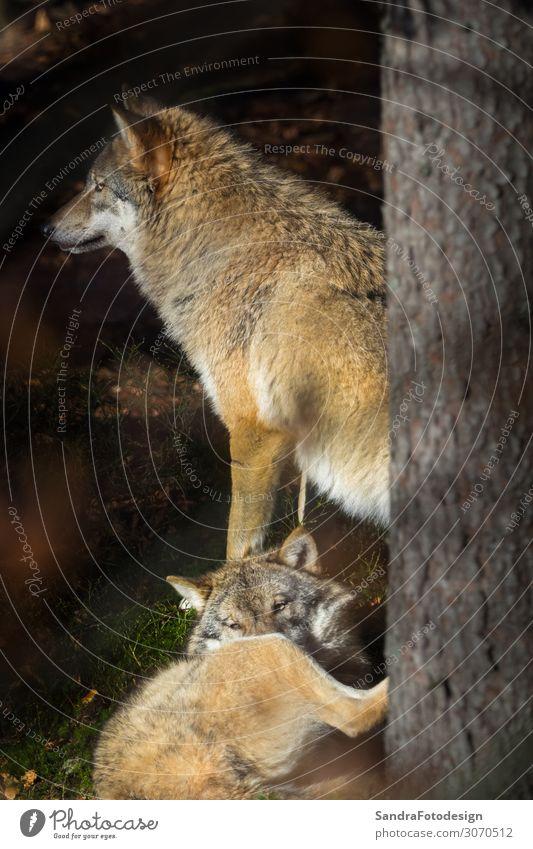Wolves in the forest Ferien & Urlaub & Reisen Zoo Natur Park Tier Streichelzoo Tiergruppe beobachten Tierliebe Wolf grey natural wildlife animal lupus predator
