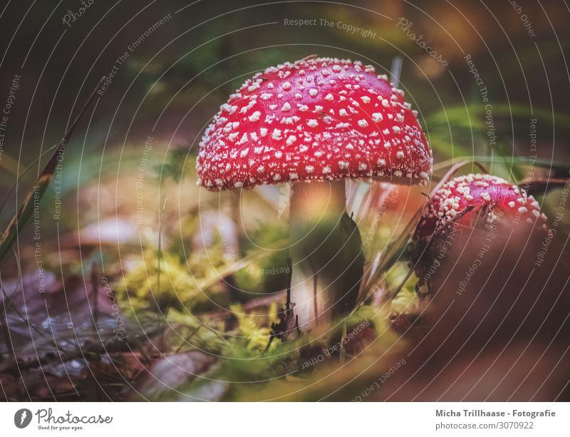 Fliegenpilze auf dem Waldboden Natur Pflanze Sonnenlicht Schönes Wetter Gras Moos Wildpflanze Pilz Pilzhut Zweige u. Äste Blatt glänzend leuchten Wachstum nah