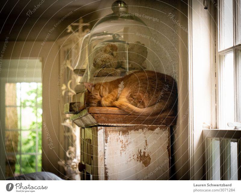 Snoozing auf dem Regal Häusliches Leben Wohnzimmer Tier Haustier Katze 1 Sammlung Holz Glas liegen schlafen ästhetisch authentisch einfach Fröhlichkeit