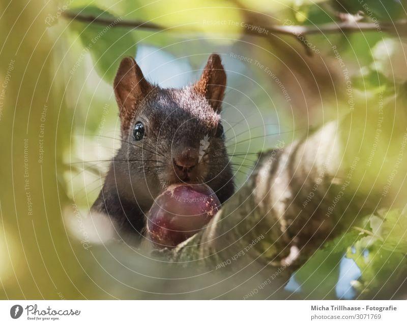 Eichhörnchen mit Nuss im Baum Natur Tier Sonnenlicht Schönes Wetter Zweige u. Äste Blätterdach Blatt Wald Wildtier Tiergesicht Fell Kopf Auge Nase Maul Ohr 1