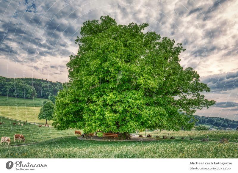 HDR-Aufnahme einer alten Linde unter spektakulärem Himmel schön Sommer Sonne Natur Landschaft Pflanze Wolken Baum Gras Blatt Wiese Straße Wege & Pfade frisch