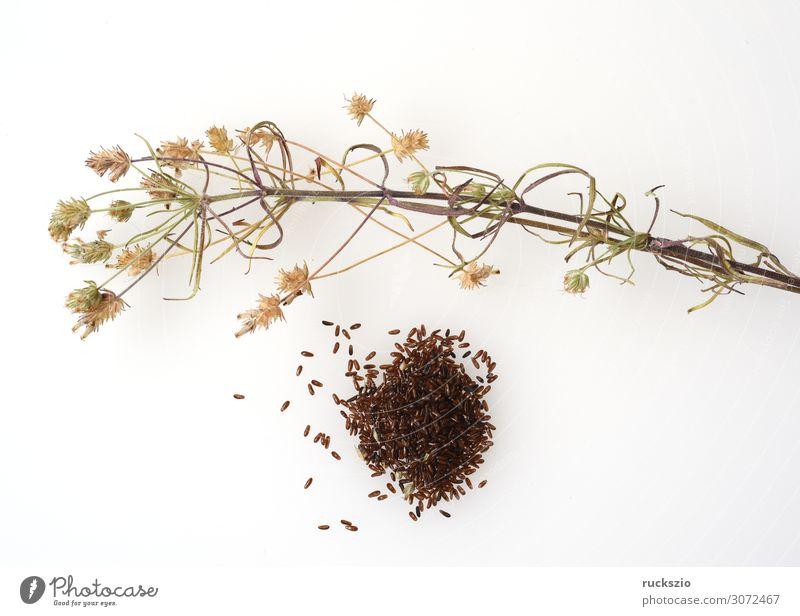 Black, psyllium, afra, plantago, plantain Pflanze Wildpflanze schwarz Flohsamen Wegerichgewächse Heilpflanzen Wiesenblume Feldflora Wildflora Heilgartenpflanze