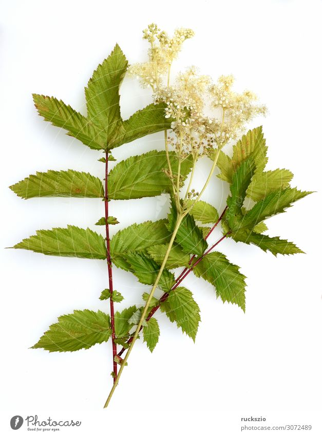 Filipendula, ulmaria, water plant, herb Natur Pflanze Blüte Wildpflanze Blühend authentisch weiß Maedesuess Wasserpflanze Heilpflanzen Wiesenblume Feldflora
