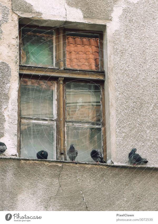 Tauben Lifestyle Haus Umwelt Einfamilienhaus Bauwerk Gebäude Architektur Fenster Tier Haustier Vogel Tiergruppe fliegen listig schön mehrfarbig Stimmung Verfall