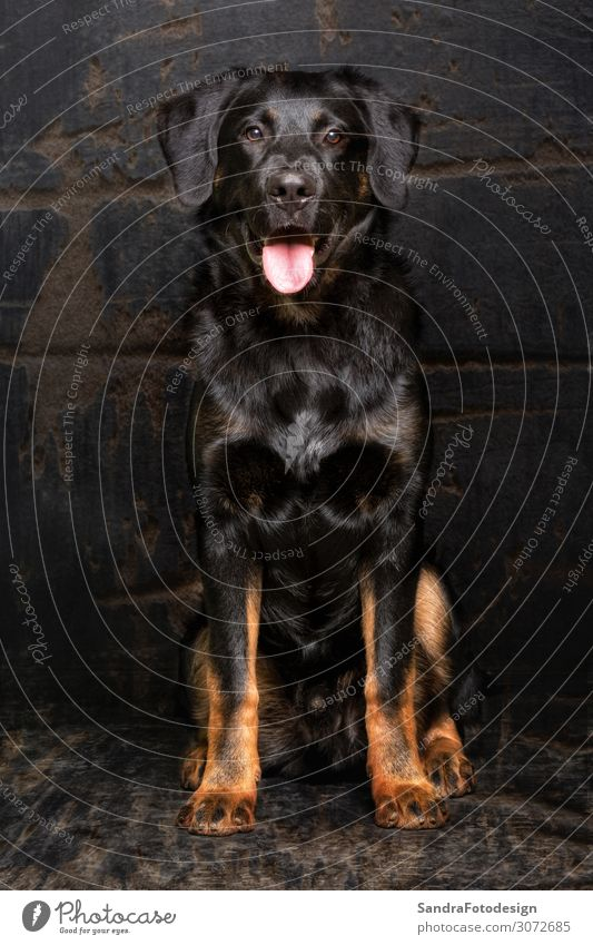 Appenzell sheepdog mixed breed Tier Hund schwarz loyal Tierliebe pet mammal hound purebred security animal shepherd shepard guard protection brown canine fur