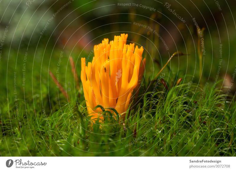 Fungus a yellow goatee Natur Wald ästhetisch schön gelb Zufriedenheit rubbery rural shape showy orange leaf matter natural softwood stag viscosa woodland tuning