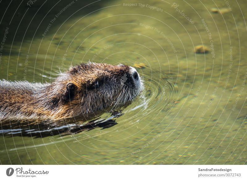 A beaver by the water Natur Tier Park Flussufer Wildtier 1 Fröhlichkeit Zufriedenheit Lebensfreude mammal pond green wildlife brown animal swimming rodent face